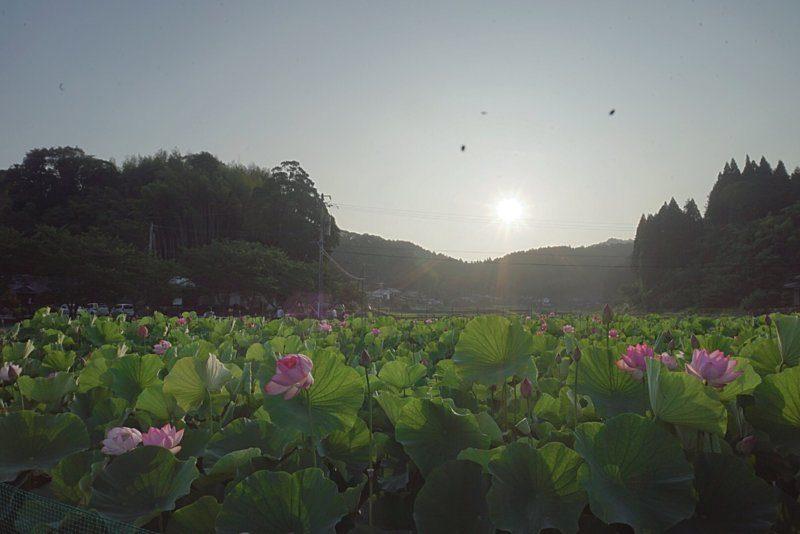 朝日と蓮の花